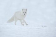 Peter_van_der_Veen-Petersmoments- Arctic fox white winter running